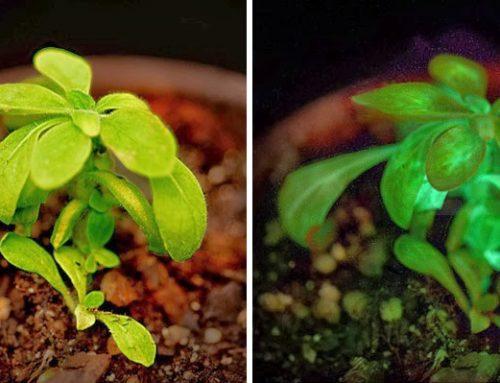 Árboles que brillan para sustituir a las farolas ¿posible?
